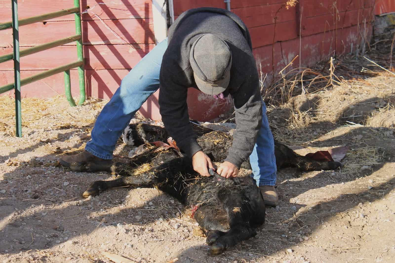 cowboy skinning dead calf