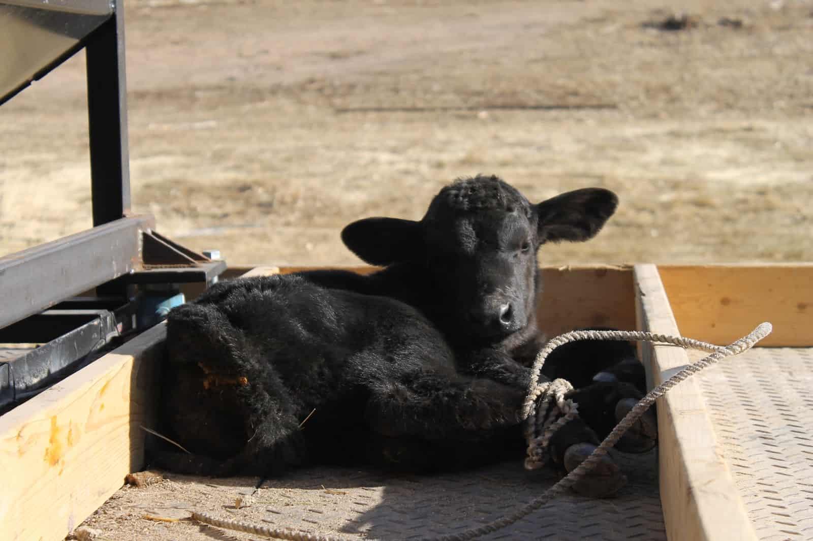 black Angus calf in pickup bed