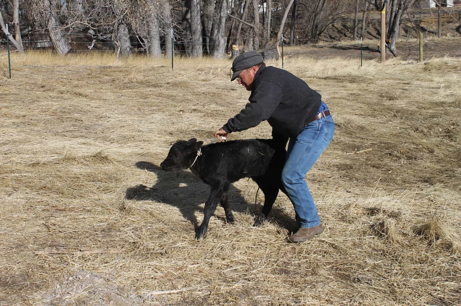 cowboy leading a calf with rope