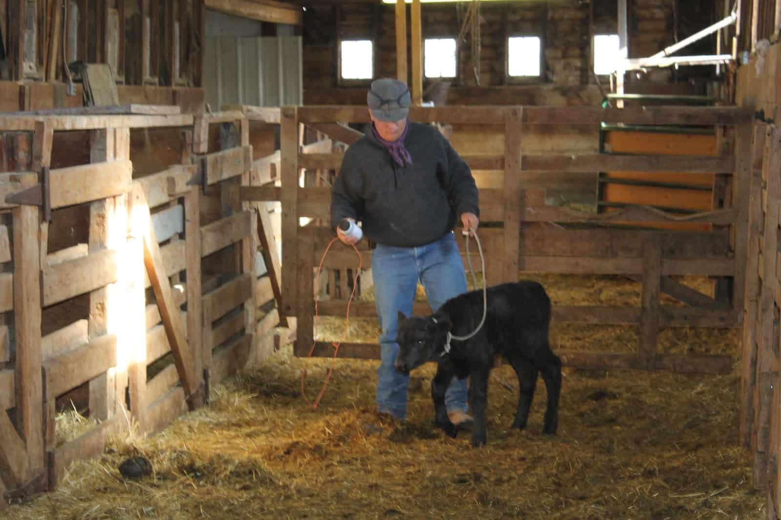 cowboy in barn leading calf