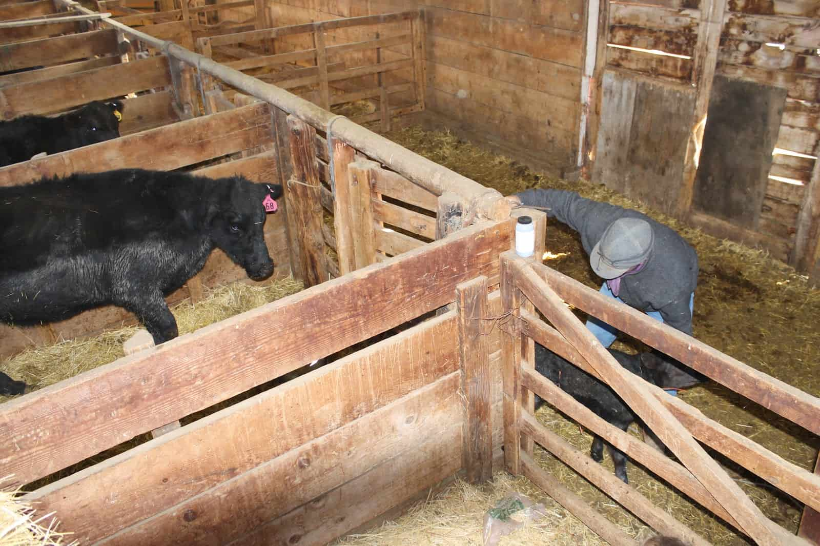 cow looking at calf in barn