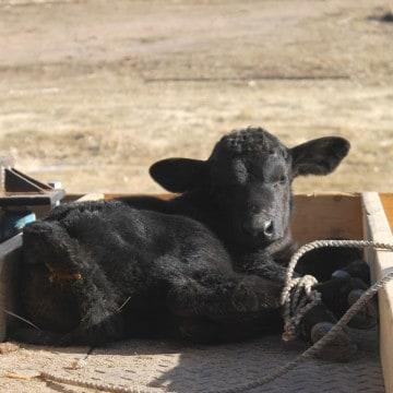 graft a calf