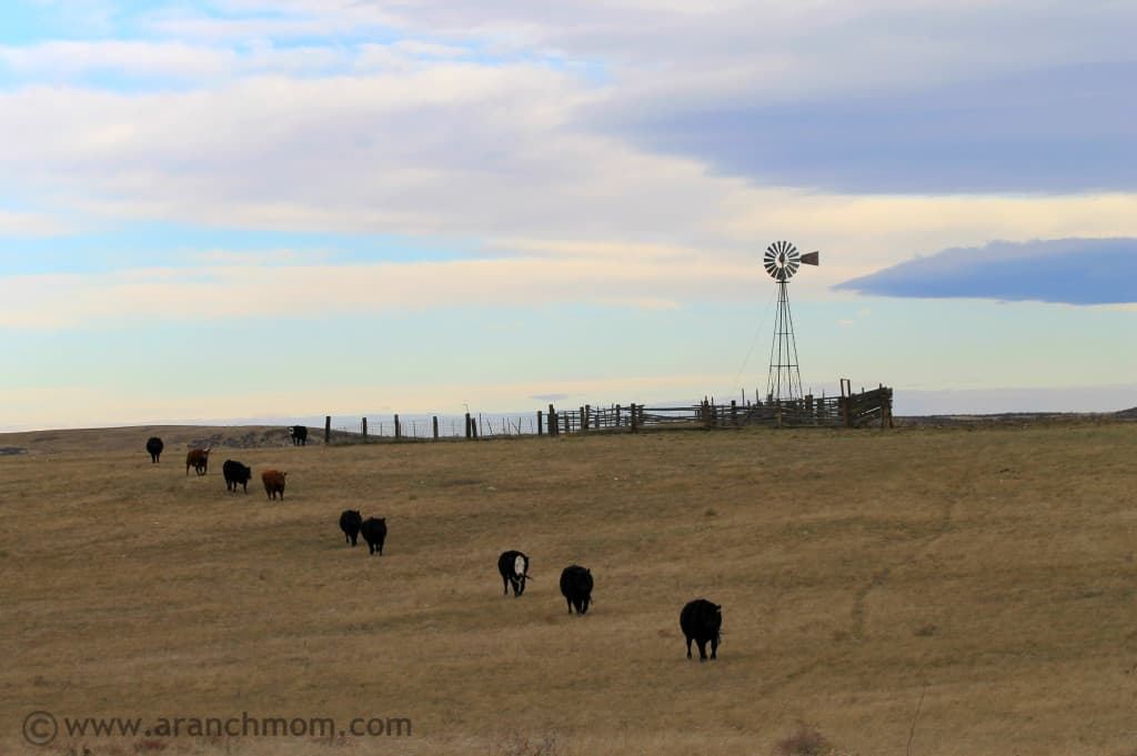 Feeding cows on the ranch