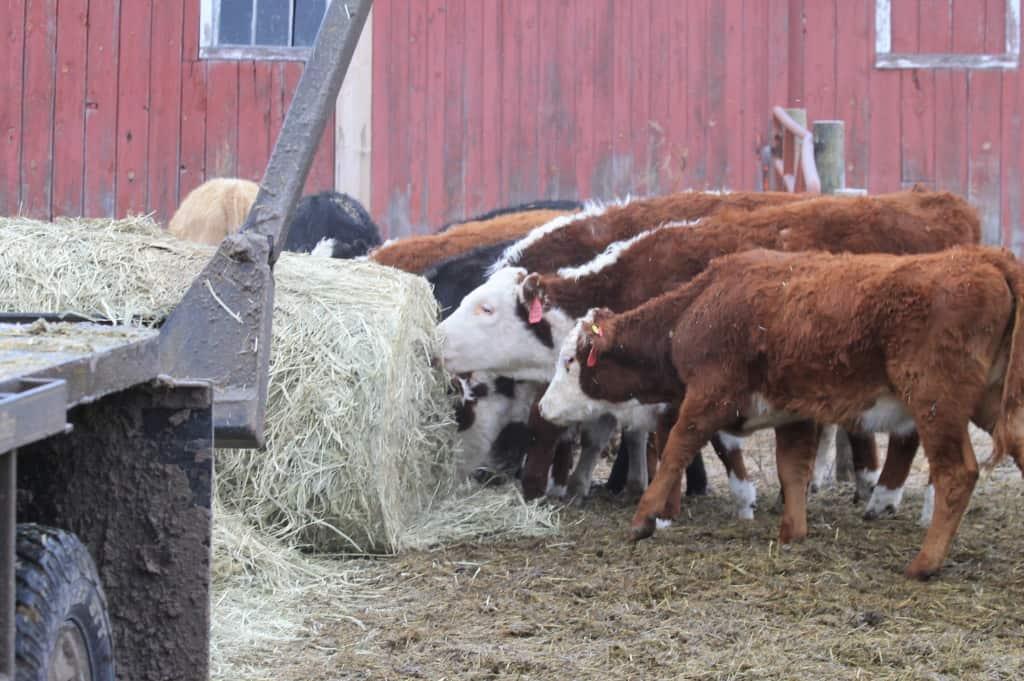 culls eatin hay