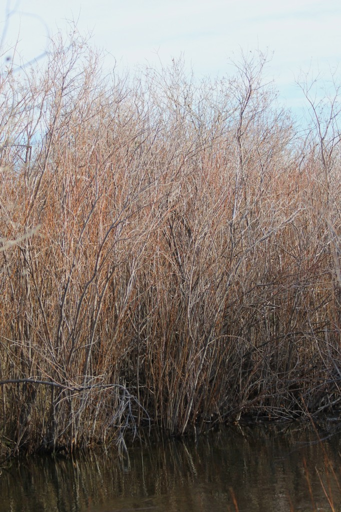 """""""...willows by the watercourse..."""""""