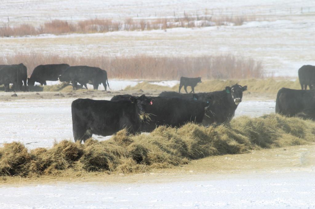 Cows - eatin hay.
