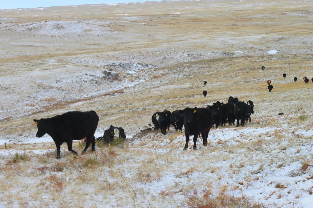 feeding cows10