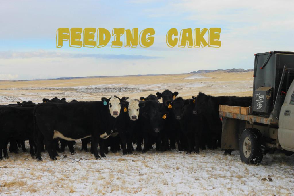 feeding cows6
