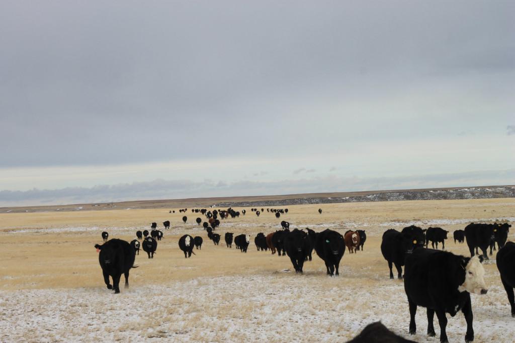 feeding cows8