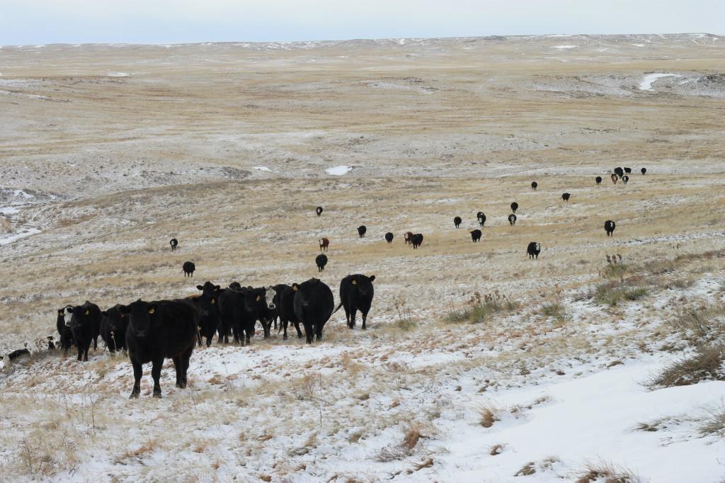 feeding cows9