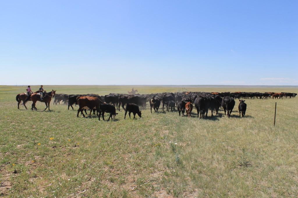 Pushing cows through the gate.