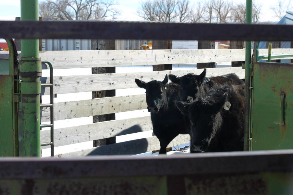 branding heifers