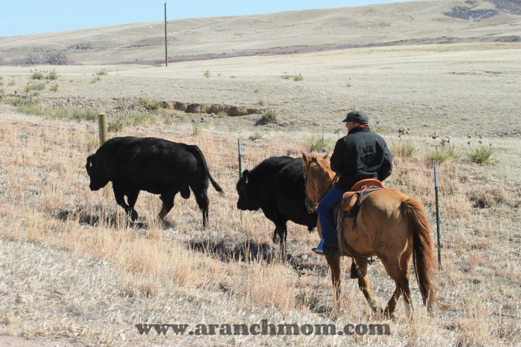 Moving Bulls on the Nimmo Ranch