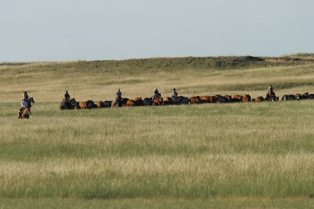 gathering cows for a branding, wyoming ranch
