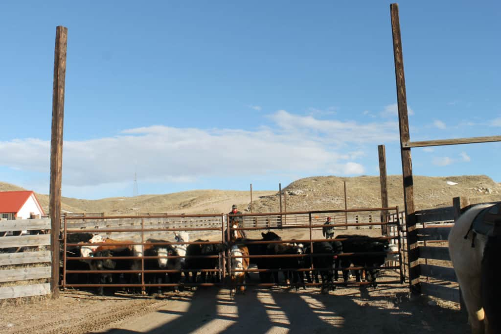 cowboys, horses, heifers