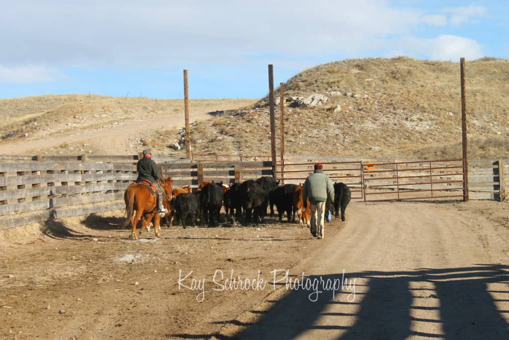 cowboys, horses, heifers