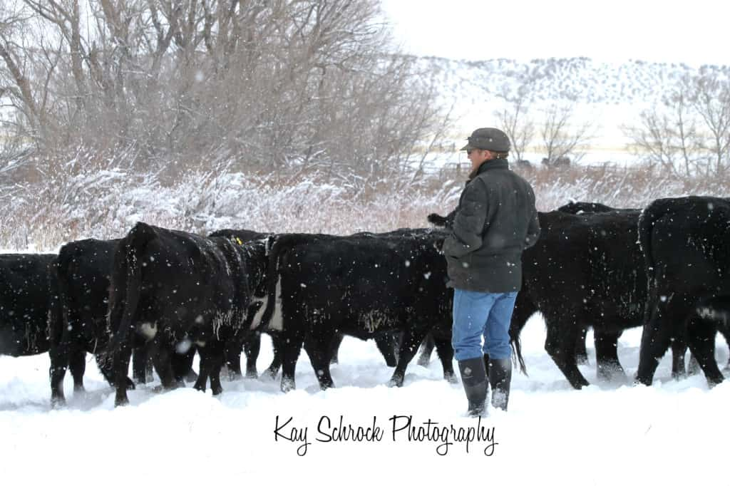 checking heifers in snow