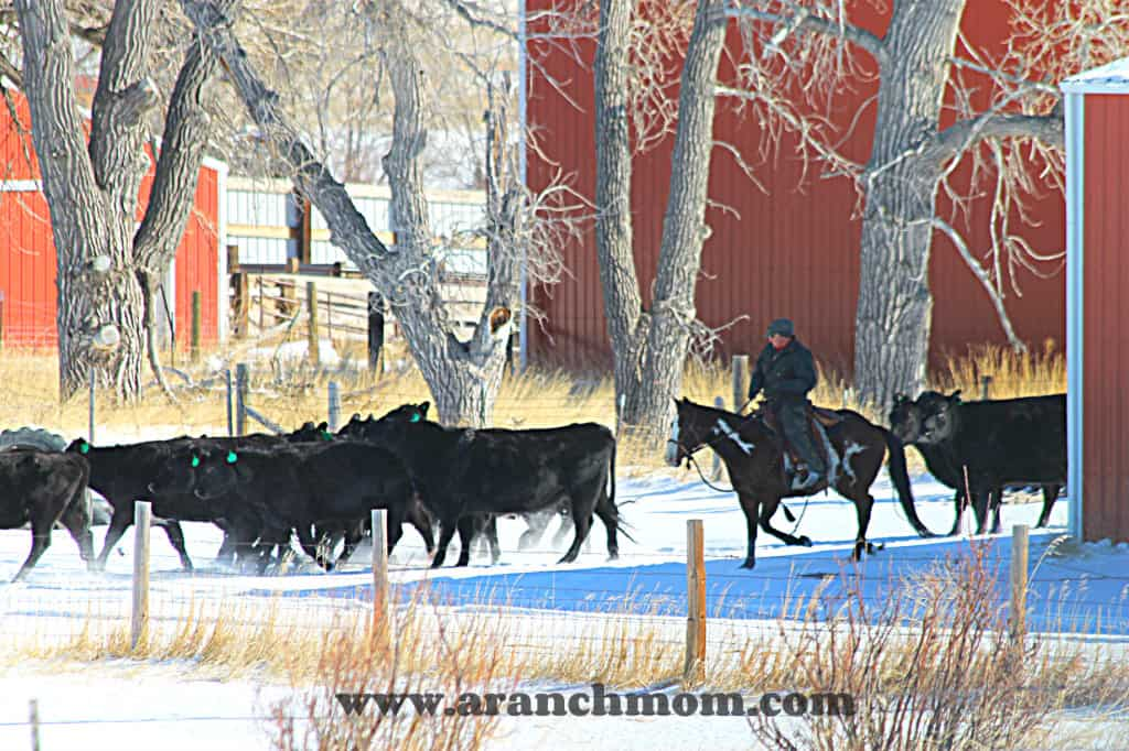 moving heifers to the corrals