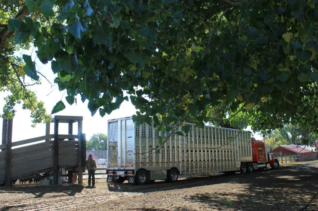 shipping season on the ranch