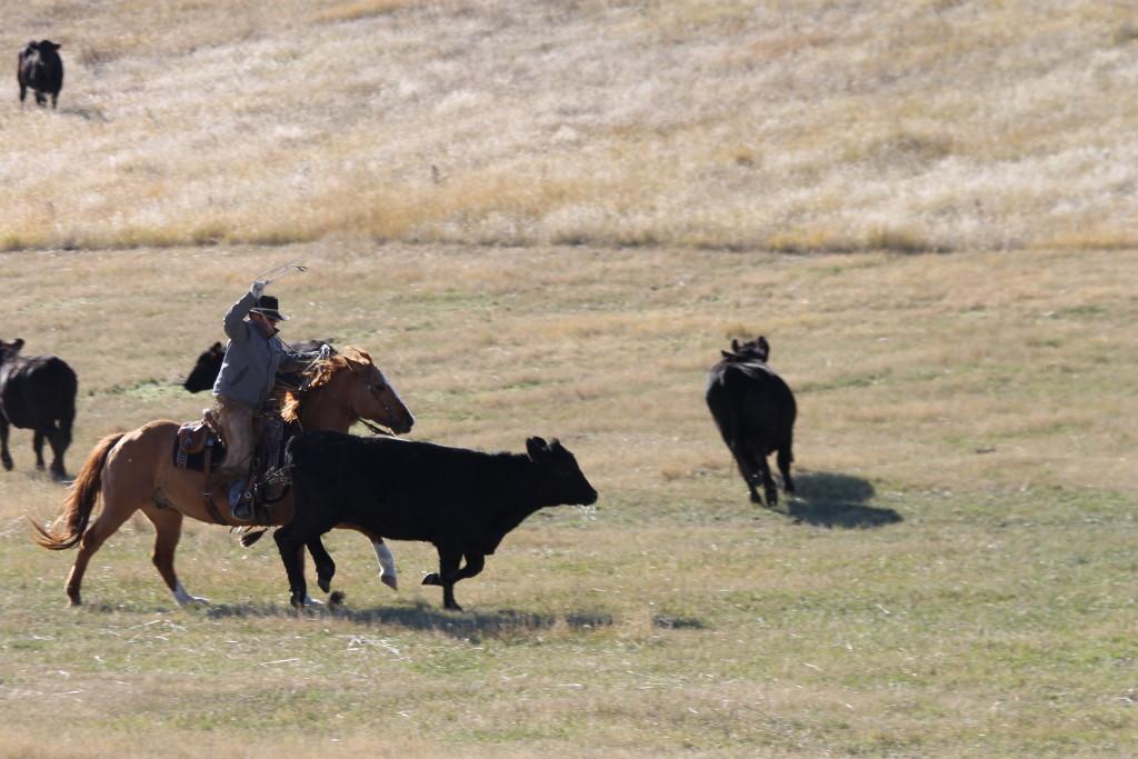 Chasin' Cows.