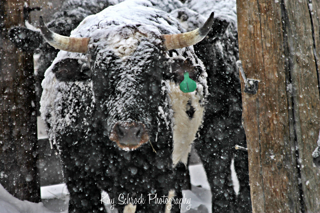 snowy cattle