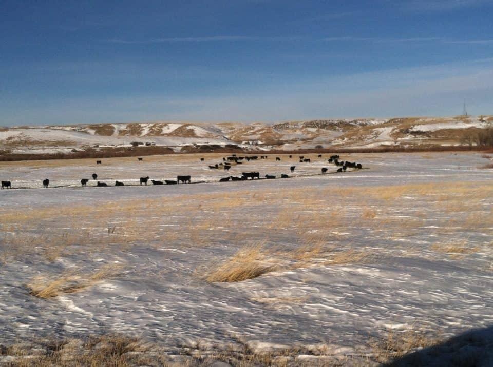 winter cows 1