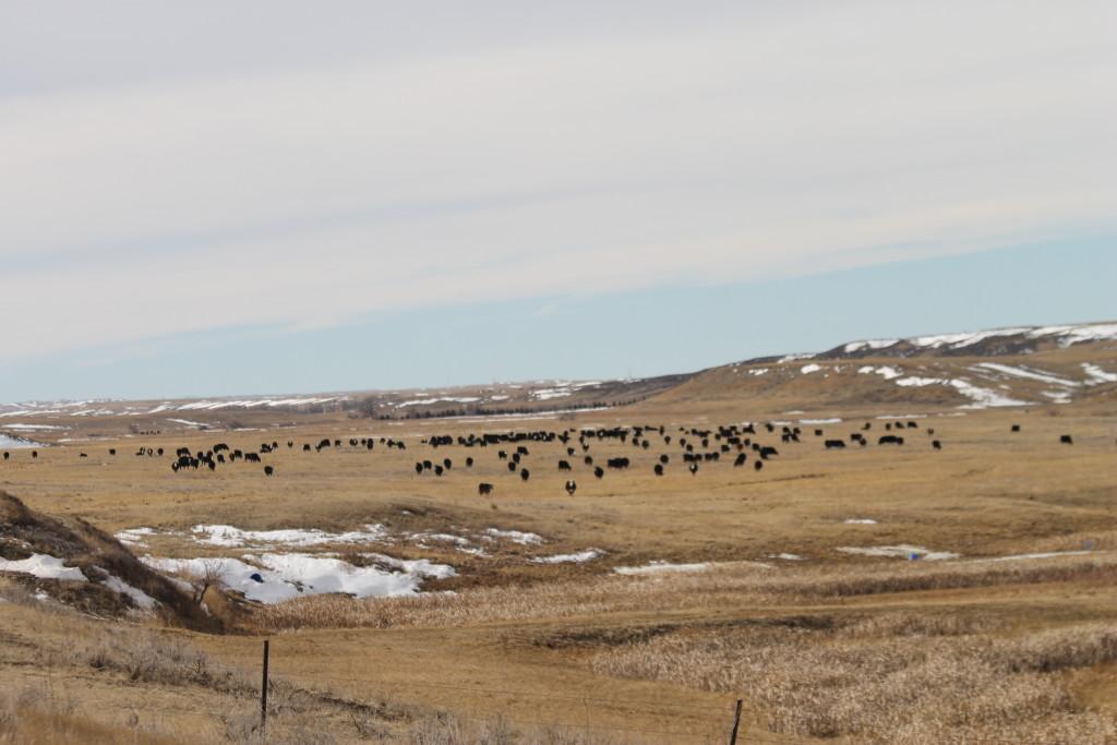 calving cows