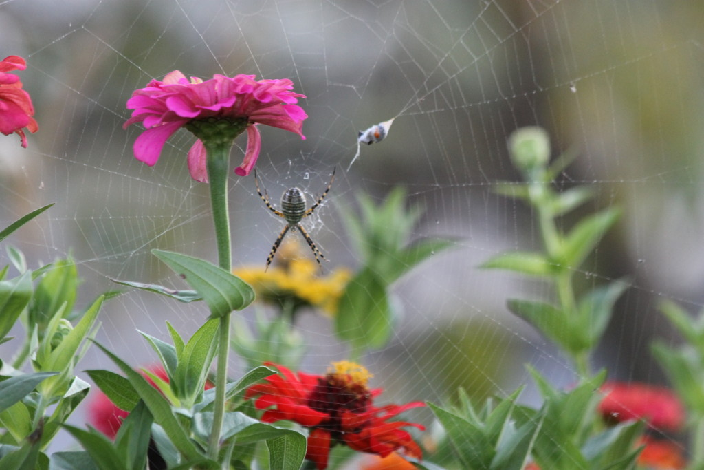 Spider and Zinnia