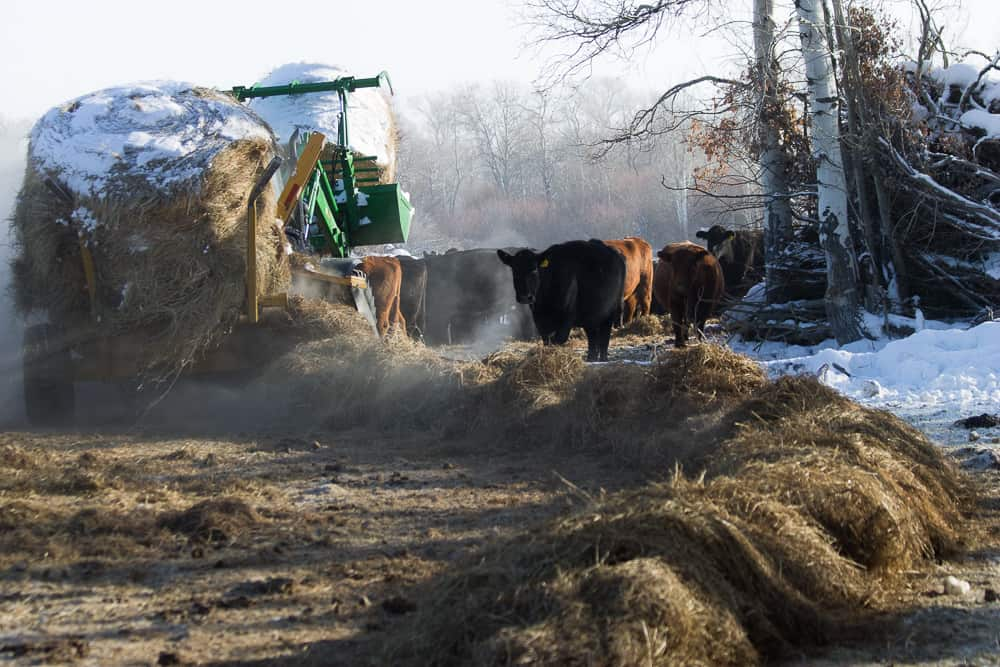 tractor feeding hay