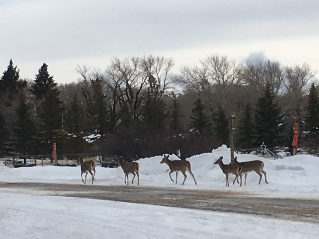 The deer that live in town!