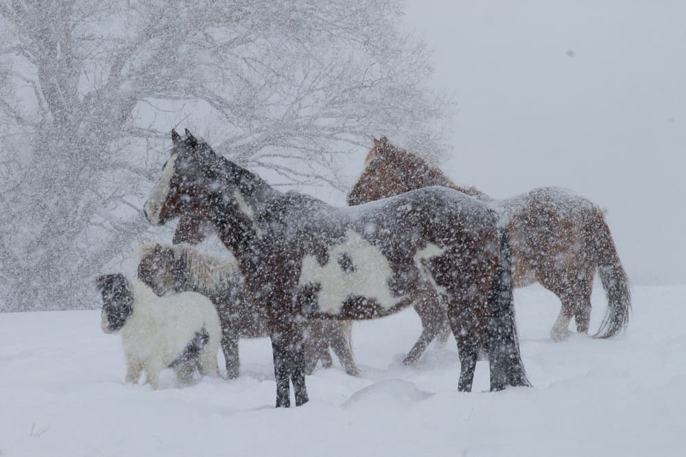 Horse herd in snow