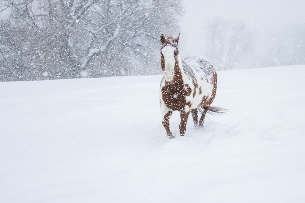 paint horse in snow