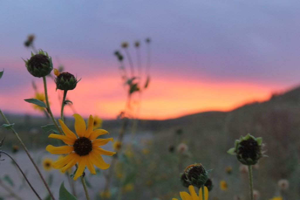 Wildflowers in wyoming