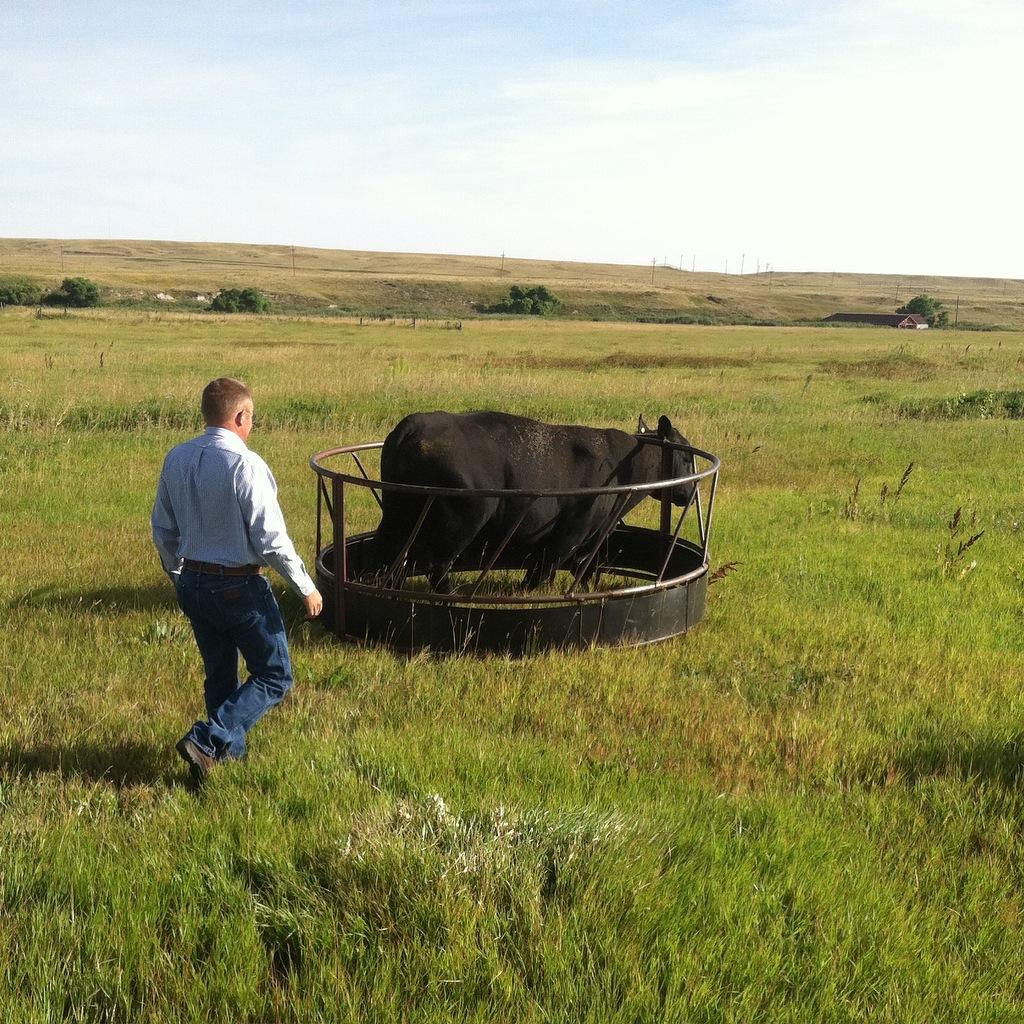 bull in a bale feeder