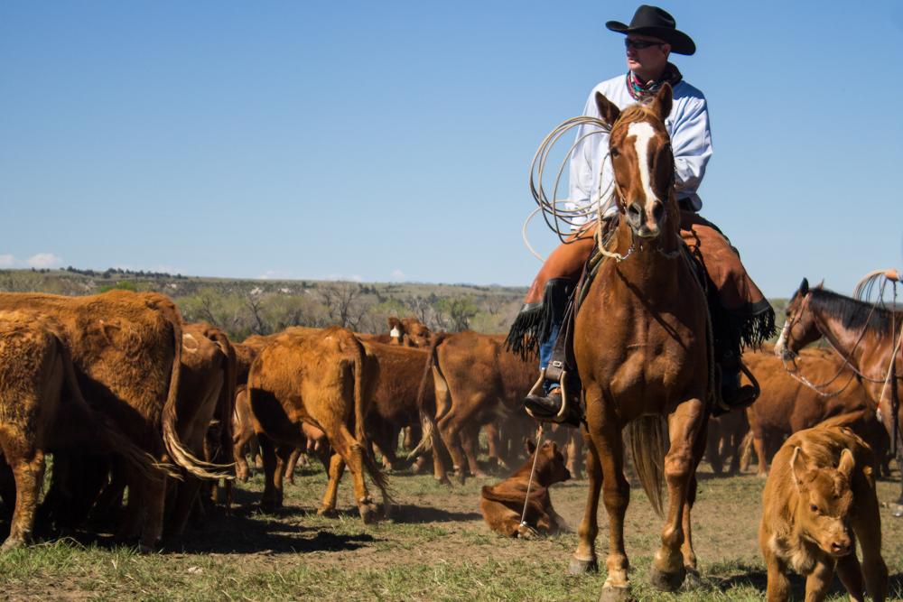 cowboy roping at a branding