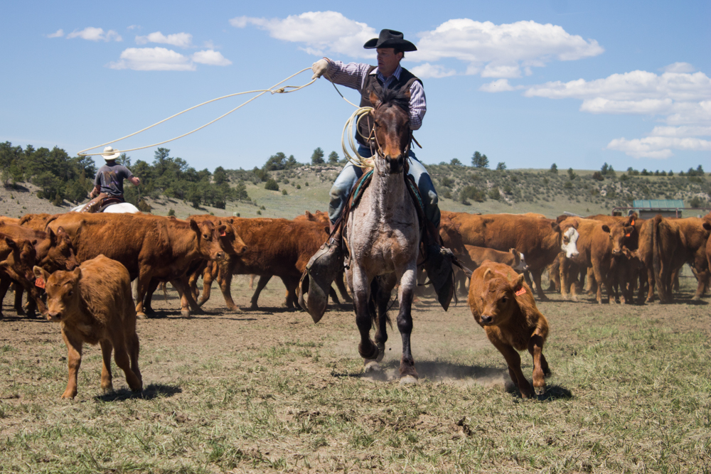 Wyoming cowboy roping