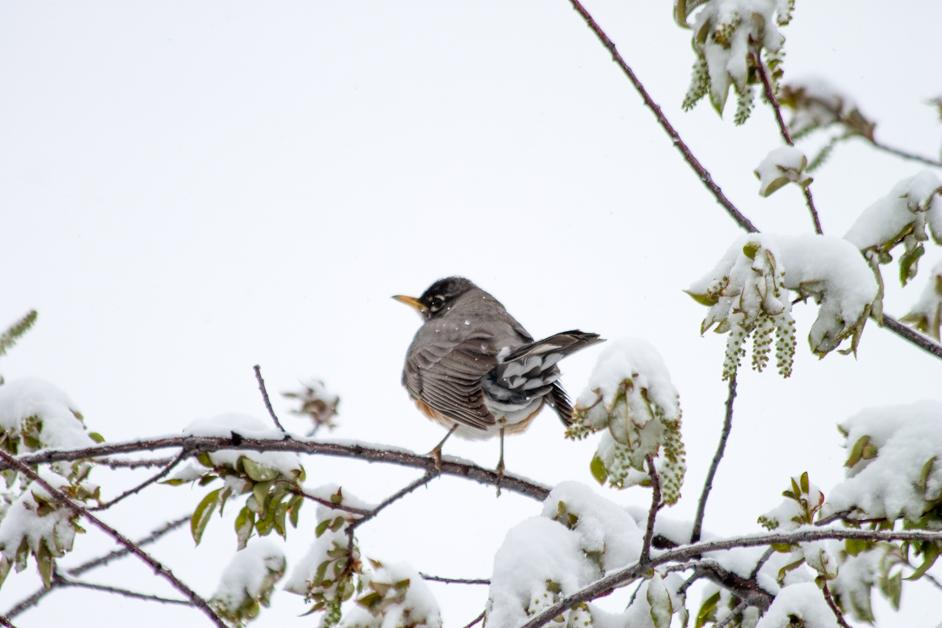 A bird on the chokecherry bushes.