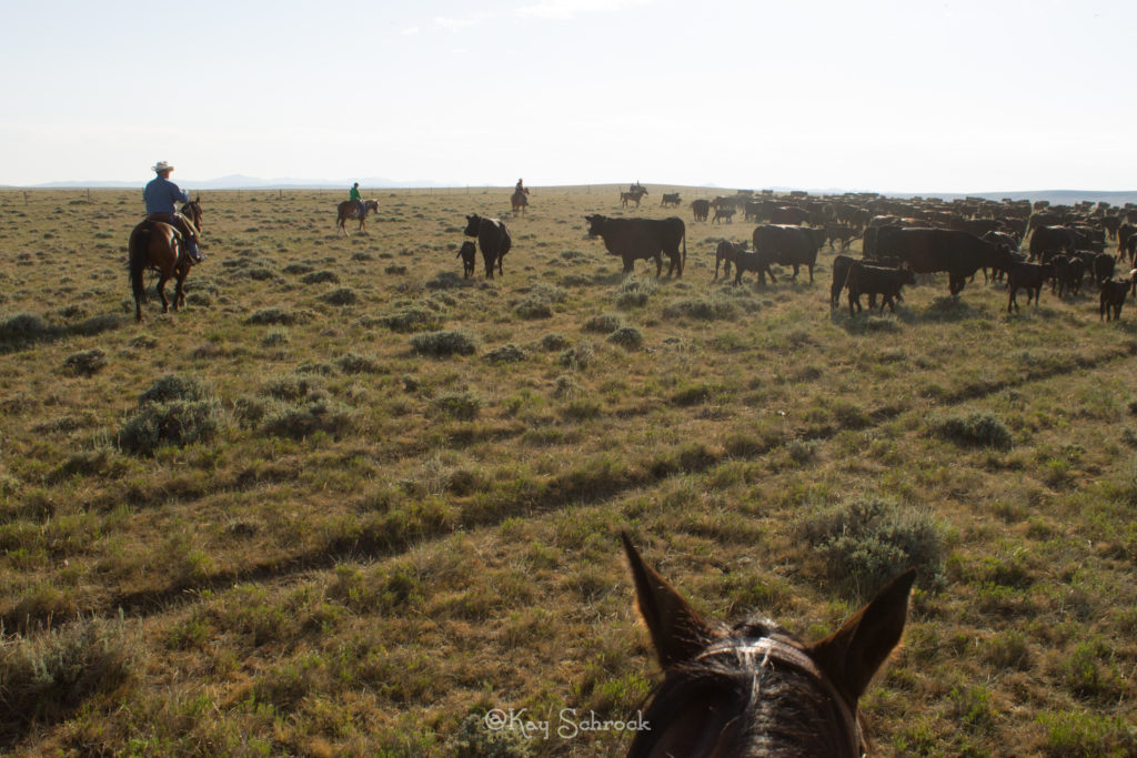 Gathering cows