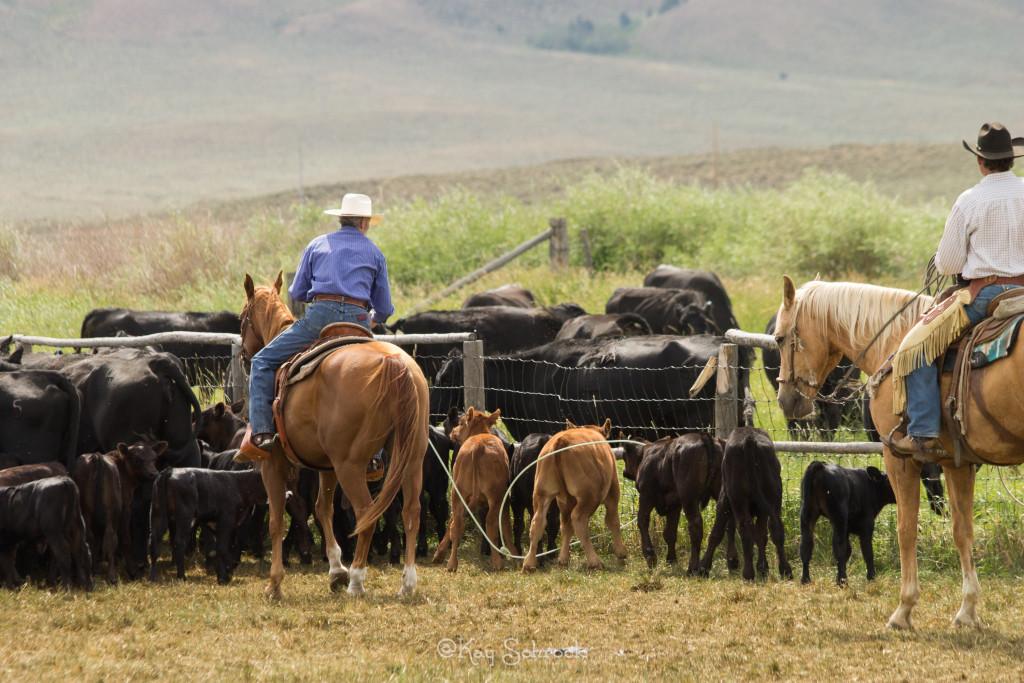 Roping calves at the TA