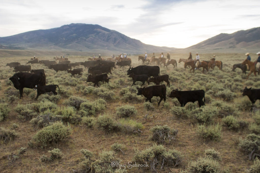 Morning cattle drive roundup wyoming