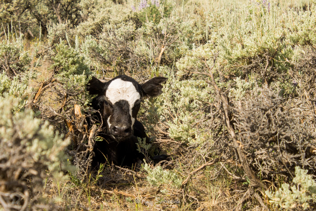 calf in sagebrush