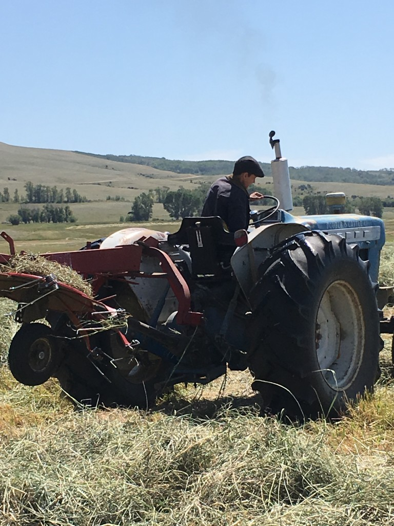 Frank raking hay.
