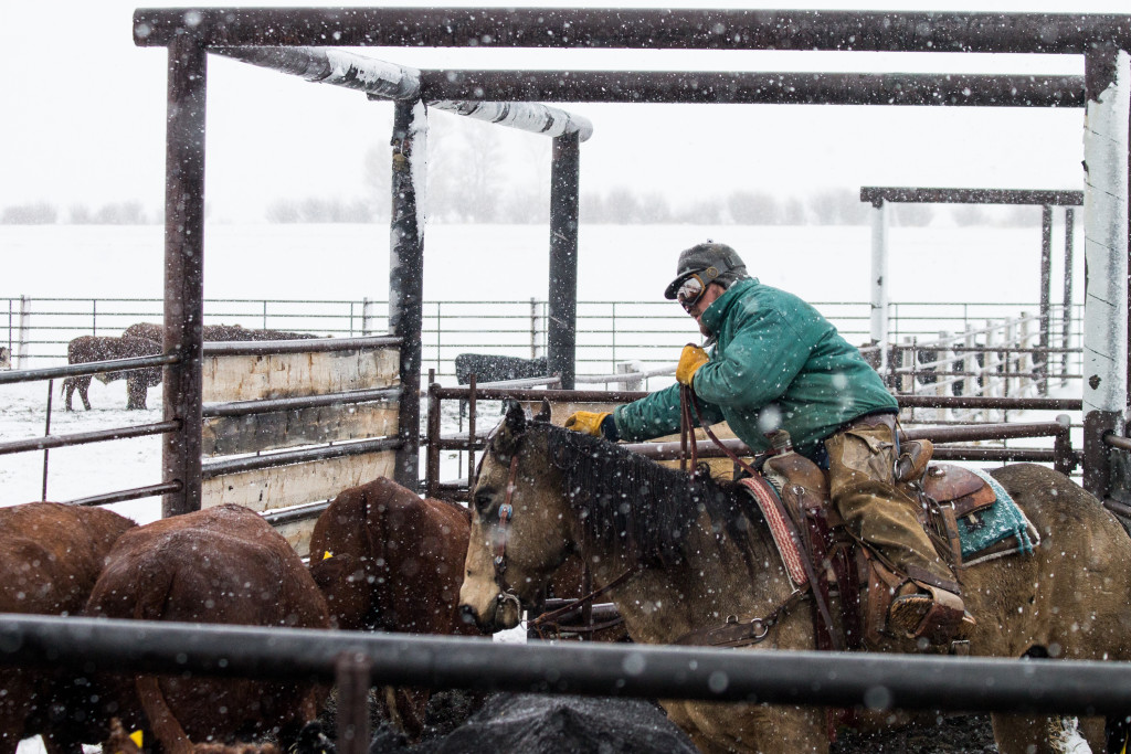 Two secrets to great photos, and some preg-checking. #wyoming #cowboy