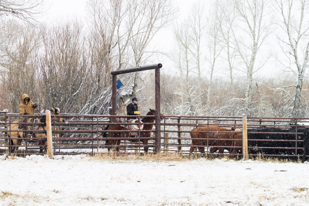 Two secrets to great photos, and some preg-checking. #Wyoming #ranch