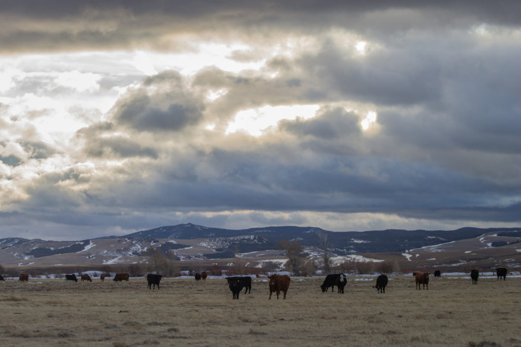 cows on a ranch under cloudy skies