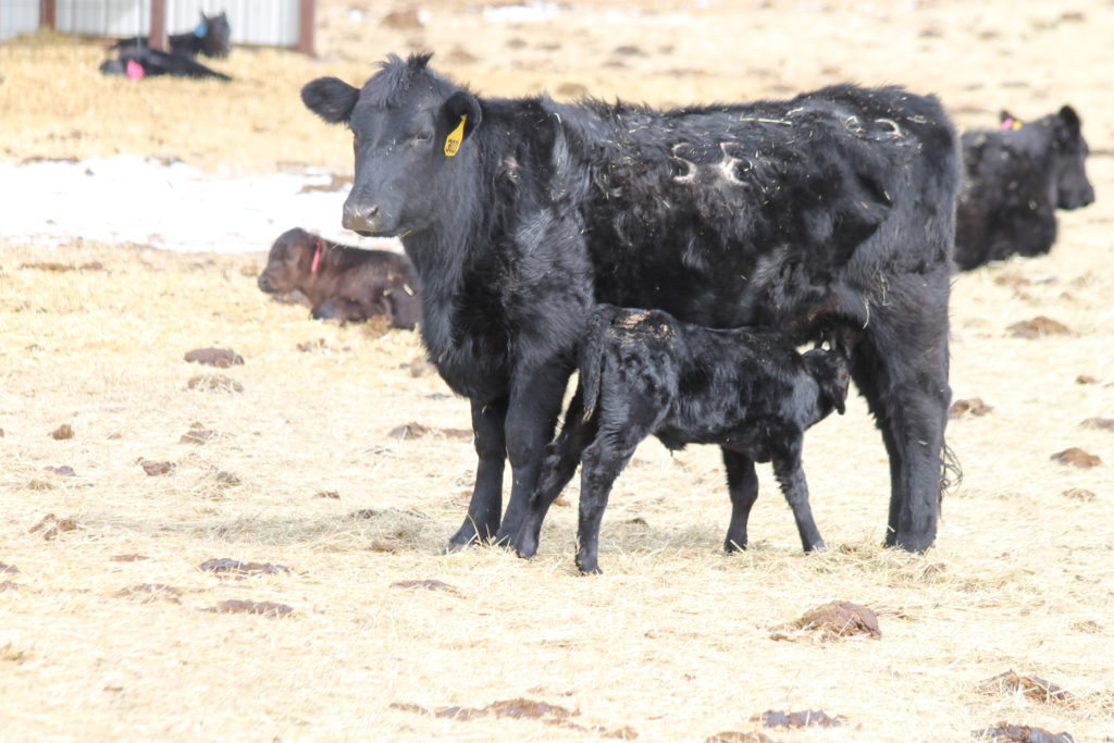 Valentine's Day on the ranch. Calving heifer, calf barn