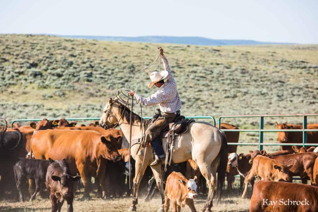 july branding - cowboy roping