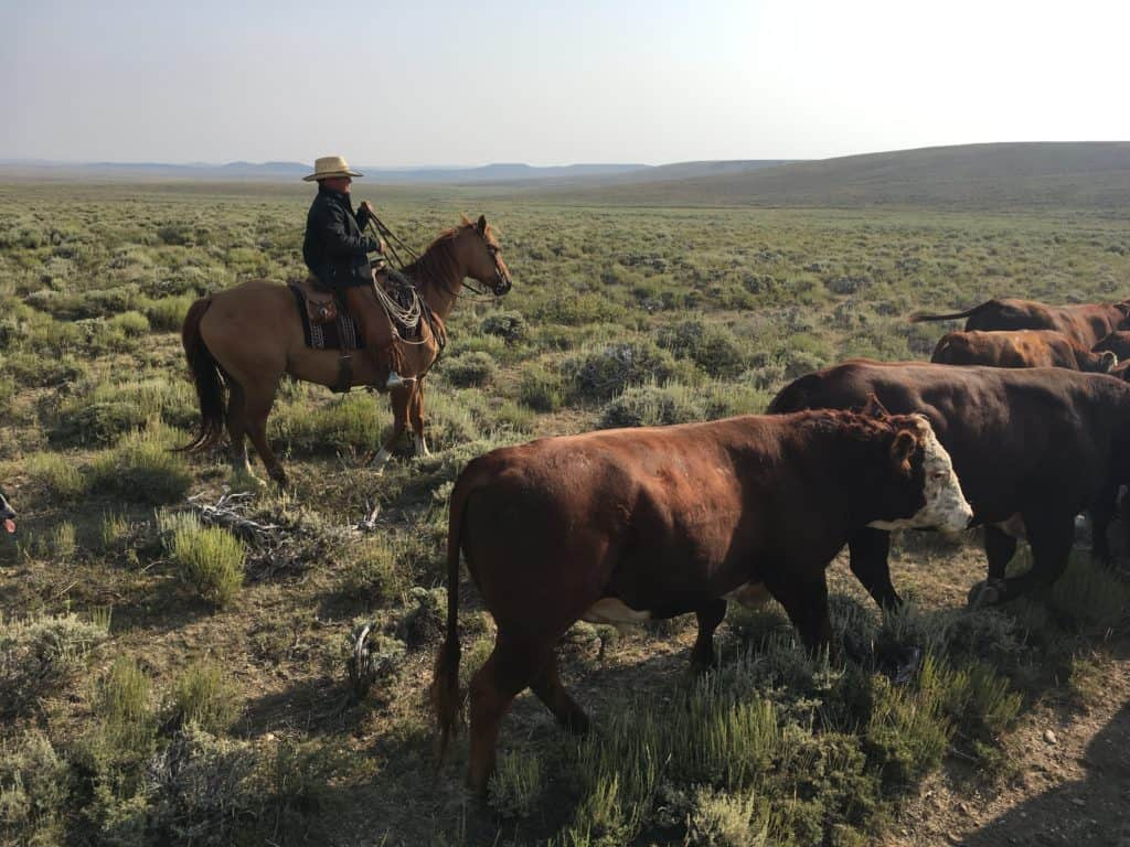 Moving bulls on a Wyoming ranch
