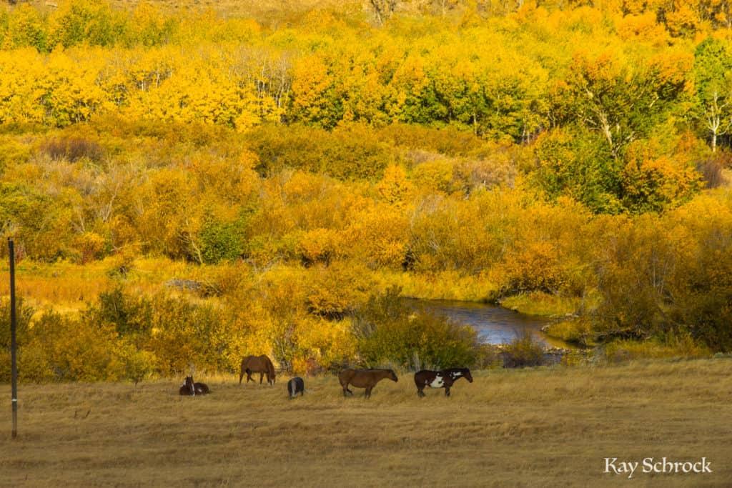 horses golden aspen