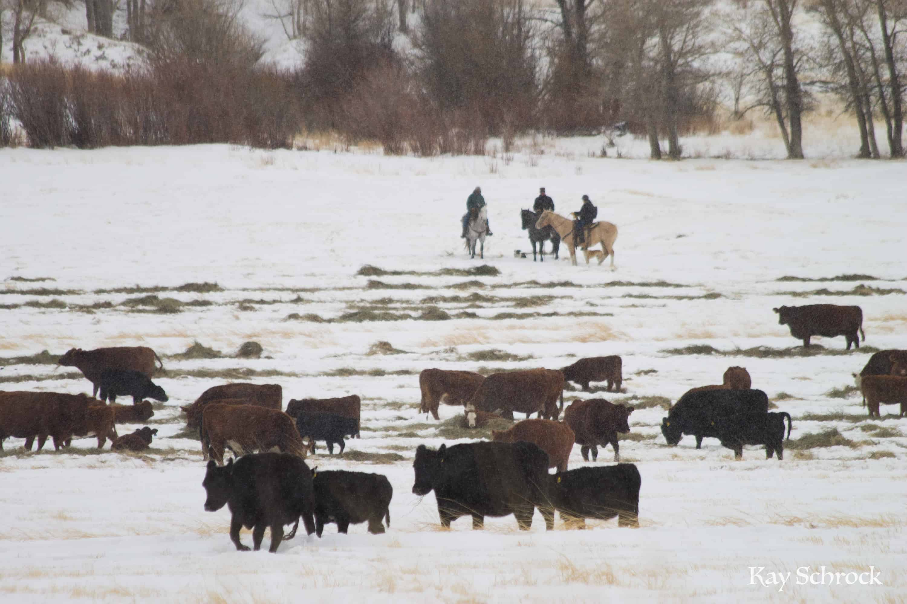 Weaning and shipping in the snow.